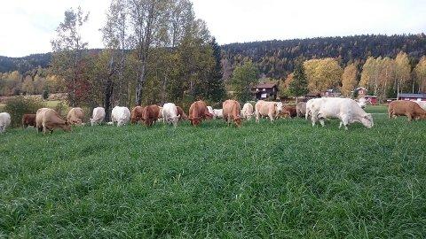 PÅ RØMMEN: Søndag ble kvigene til Torstein Aasen skremt og stakk av fra Hole gård i Båsheim i Sigdal. 23 av dem er fortsatt på rømmen,