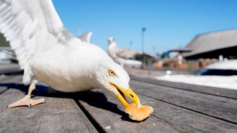 FUGLEINFLUENSA: Fugleinfluensa har kome til Eigersund, og Mattilsynet ber folk vera observante og gje beskjed viss spesielt andefuglar, måker, kråker, ramn og rovfuglar blir ramma av fugleinfluensa.