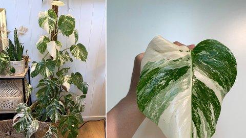 KOSTBAR GRØNN PLANTE: I 2020 har populariteten til denne planta, Monstera Variegata, skutt i været. Den har blitt vanskelig å få tak i på plantesentre, og selges nå for flere tusen kroner på Finn.no.