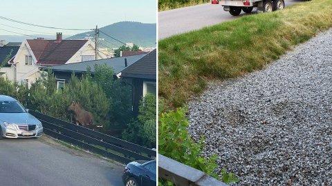 PÅ TUR: En elg forvillet seg inn i et nabolag på Øren tirsdag kveld. Til høyre fotspor den la fra seg på grusen til en beboer.