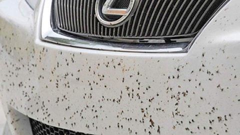 På sommeren kan det noen ganger føles som å møte en vegg med insekter, de setter seg også godt fast i lakken. Men dette bør du få bort så fort som mulig