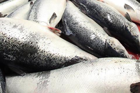 OMSETNADSAUKE: Star Seafood i Måløy starta opp mot slutten av 2018. Dei driv med internasjonal handel av fisk, hovudsakleg laks og aure. Allereie i 2019 hadde dei ei omsetnad på nesten 600 millionar. Ei auke frå 2018 på 309 prosent.