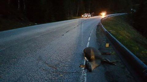 HJORT: Det gjekk heldigvis betre med føraren av motorsykkelen enn med dette stakkars dyret.