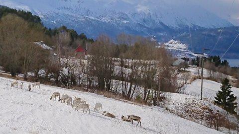 FLOKK: Reinsdyra som var på Søreide i Gloppen fredag talde 16 stykk.