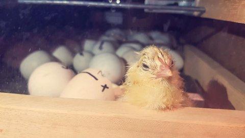 SØTE SMÅ: – Vi har no 36 hønseegg og seks av dei har klekka. Vi har også 13 andeegg og dei vil klekke om ei vekes tid, seier lærar Ole Johnny F. Solberg.