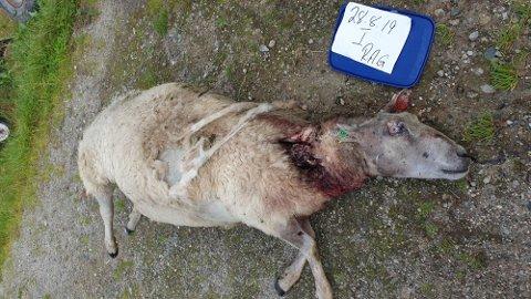 DREPEN AV ULV: Fleire sauer har den siste veka blitt offer for ulv.. No er det gitt skadefellingsløyve.