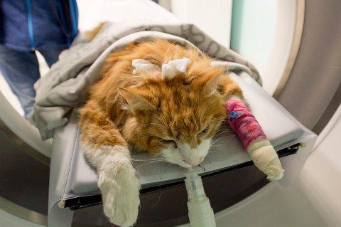 MISHANDLET: Hannkatten «Tigern» (8) ble påført store lidelser etter at noen skjøt den i hodet fem ganger med luftgevær.