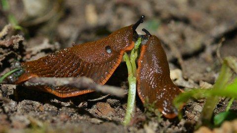 AKTIVE OM SOMMEREN: - Det er flest snegler i hagen sent om høsten, men de er mest aktive og vil synes mer i fuktige perioder på sommeren, sier snegleeksperten.