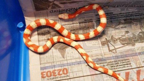 Denne kvelerslangen ble funnet på et boligfelt i Fredrikstad natt til torsdag.