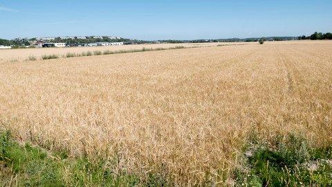 Dårlige kornavlinger: Tørken har påført bøndene store tap. (Arkivfoto: Erik Hagen)