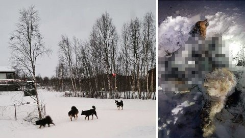 Løshunder har lenge vært et problem i Kautokeino. Nå er hunder funnet drept og brent. Beboere og politiet mistenker at det er løshundproblemet som nå har toppet seg. Foto: Charlotte Eira/Finnmark Dagblad
