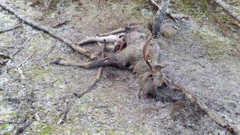 – SKADESKUTT: Denne elgen skal ha dødd som følge av at skadeskyting. Det spesielle er at også ei ku ble funnet død i det samme området under elgjakta. Også den skadet etter skudd, ifølge kilder i jaktmiljøet. Viltfaglig utvalg i Narvik bekrefter at det er blitt en politisak.  Foto: Privat