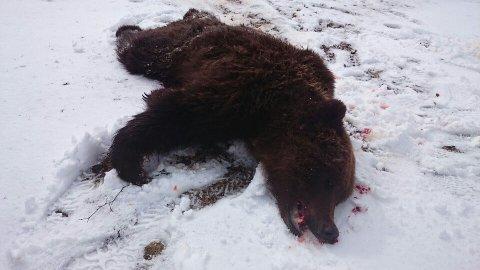 Denne bjørnen ble mandag felt ved Øråstjønna i Selbu. Foto: Statens naturoppsyn / NTB scanpix.
