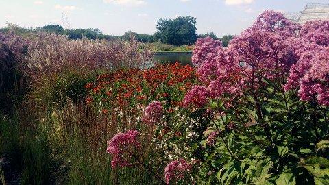 VAKKERT: Flekkhjortetrøst benyttet i stor beplanting med andre blomstrende stauder.