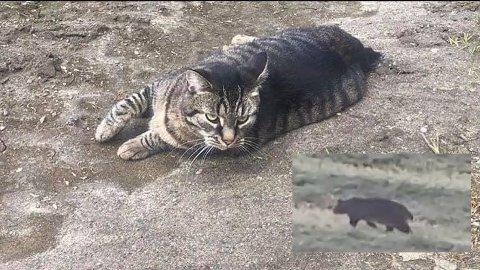 Karin Johansen mener det er katten Schiva på videoen.