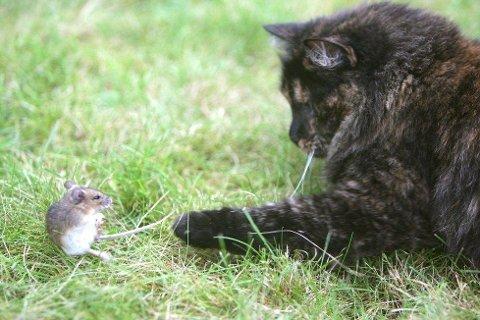 FRÅTSER I MUS: Det er museår i år og en katt kan faktisk bli syk om den spiser mye mus. Denne musen hadde ingen sjanse for å overleve da den møtte katten Josefine.