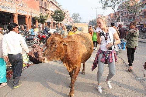 ANNERLEDES: Thea Nystuen i et forsøk på å posere med en av Indias mange kuer. Foto: Kaja Andrea Nøsterud