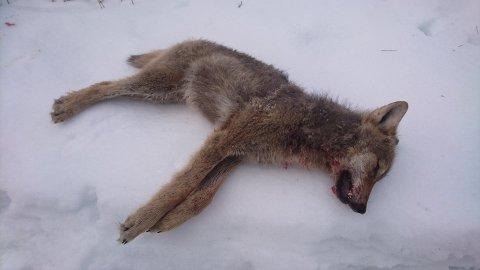 ILLEGALT: Mange skadeskutte ulver har havnet på obduksjonsbordet i Sverige. (Illustrasjonsfoto)