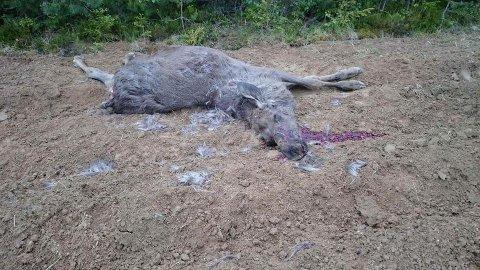 ULVETATT: Denne halvvoksne elgen ble tatt av ulv på Kolomoen ved Roverud.