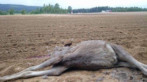 KADAVER: Elgen ble tatt av dage på et jorde bare 200 meter unna gården til Tomteberget.