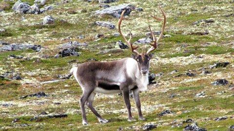 RADIOAKTIV VILLREIN: Verdiene av den radioaktive isotopen Cesium-137 økte kraftig blant villreinen i Rondane nord i fjor.