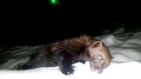 FØRSTE JERVEN: Dette er jerven som ble felt på åte i Bøverdalen i Lom natt til tirsdag. Foto: Privat