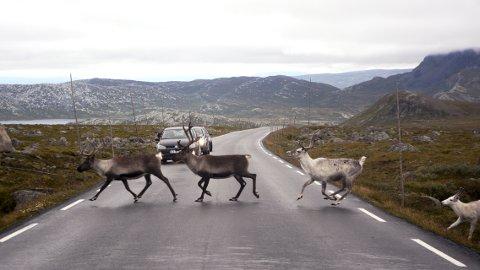 Attraksjon: Bilistane stoppar gjerne opp for å nyte synet av reinsdyr som spring over fylkeveg 51 på Valdresflye.