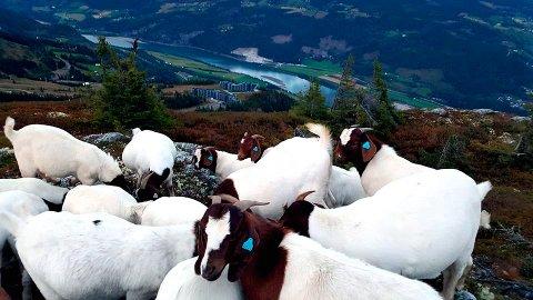 PÅ VILLSTRÅ: Tre voksne dyr og 11 kje er forsvunnet fra flokken med boergeiter. Foto: Privat