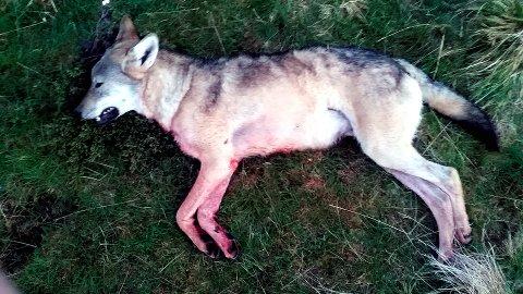 Ulv skutt i Ringebu: Denne hannulven ble felt i Åsdalen i Ringebufjellet sent mandag kveld. Foto: privat