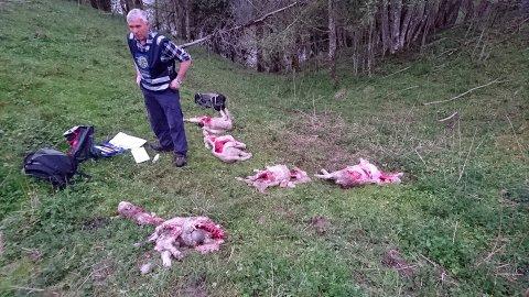 Beitebrukernes representanter er svært skuffet over at Regjeringen ikke imøtekommer kravene om å dekke alle kostnader knyttet til sommerens ulveangrep.  (Arkivfoto)