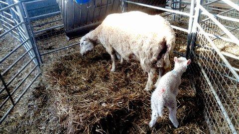 """Et lam er ikke et kjæledyr. Mor snur seg bort fra lammet sitt, som blir avvist av søya etter at noen har """"lånt"""" det et døgn."""