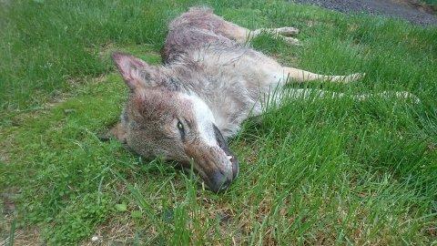 Det var en 43 kilos hannulv som ble felt ved Bøsetra i Øyer, onsdag 13. juni 2018.