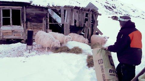 OVERVINTRA: Seks sauar frå Lom overvintra ganske langt frå heime i Guridalen i Luster. Laurdag vart dei funne.