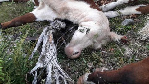 UHELL: Totalt åtte kyr døde da en høyspentledning falt ned i Nord-Aurdal.