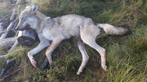 SKUTT: Denne ulvetispa ble skutt på Østre Toten ved 05.00-tiden mandag morgen.