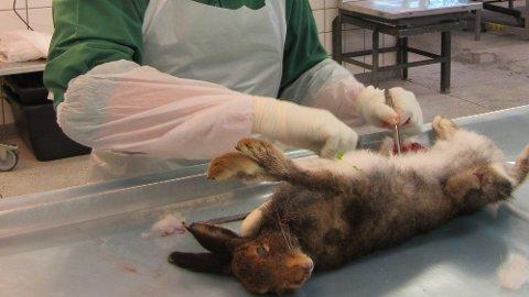 SMITTET: En smittet hare obduseres ved Veterinærinstituttet.