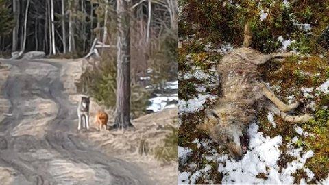 SKUTT: Ulven som ble skutt søndag er trolig den samme som for tre uker siden ble fotografert da den stiftet bekjentskap med en hund på en vei ved Trevatn.
