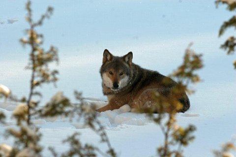 Lite snø har gjort sporingsforholdene vanskelige i Østfold. Arkivfoto: Statens naturoppsyn