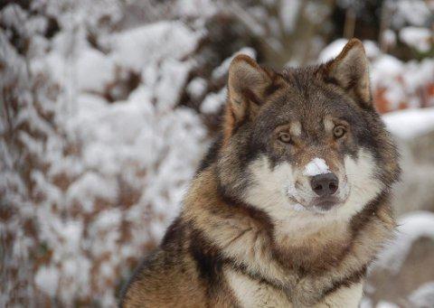 Sju ulver er skutt.