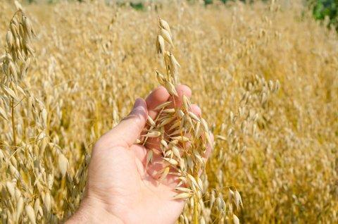 KORN: Det dyrkes mye korn både i Halden og Aremark, viser tall fra Norsk institutt for bioøkonomi.