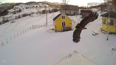 Her blir ørna fanget av kameraet på hytteeiendommen. Foto: Truls Tillers overvåkingskamera