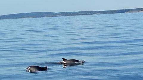 Delfin-besøk: Disse to delfinene er avbildet mellom Vesterøy og Søster i helgen.