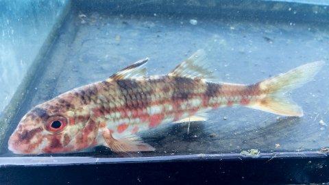 Nå svømmer denne fisken i Akvariet i Bergen.