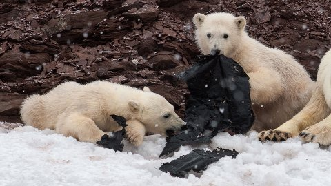 I begynnelsen av juni var Olav Thokle på båttur rundt Svalbard. Målet var å fotografere arktisk natur- og dyreliv, med isbjørnen i sentrum. Men fotografen, som befant seg i god avstand i en båt, oppdaget at de to isbjørnungene spiste på en svart plastsekk.
