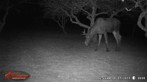SKUTT: Denne elgen ble fanget opp på et viltkamera i Tysvær, nærmere bestemt Hapnes. Noen dager senere skal en mann fra et jaktlag i nærheten ha skutt denne elgen.
