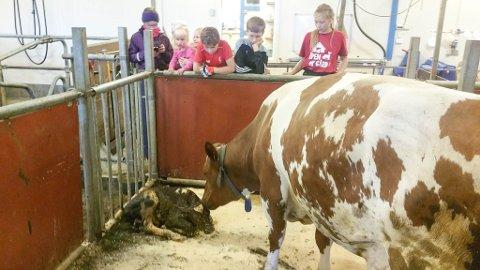 GODT PLANLAGT FØDSEL: Det ble også født en kalv under Åpen Gård-arrangementet på søndag. Det var en bonus for mange av dem som tok turen til Øvre Alta på søndag.