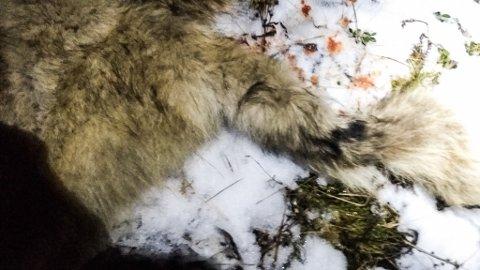 EKTE ELLER FALSKT: Dette bildet ble lagt ut på sosiale medier lørdag kveld. Fotografen, en reineier, mente bildet viser en ulv han skjøt i nødverge.
