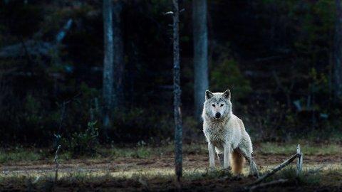 ULV: Et jaktlag har i to uker lett ett ulven i Øvre Pasvik. Foreløpig er jakten resultatløs.