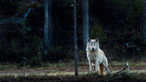 TOK REIN: Tre rein ble drept av ulv i Sør-Varanger rundt nyttår. Lite snø har gjort den vanskelig å spore, men reinbeitedistriktet har til og med 20. januar på å gjøre det av med rovdyret. Arkivbilde av norsk ulv.