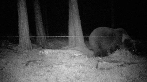 SNIFF, SNIFF: Hunnbjørnen som har fikk de fem ungene, undersøker duftstoffet i en hårfelle i Karasjok i 2013.